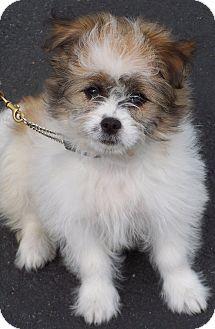 Shih Tzu/American Eskimo Dog Mix Puppy for adoption in Milford, New Jersey - Freyja