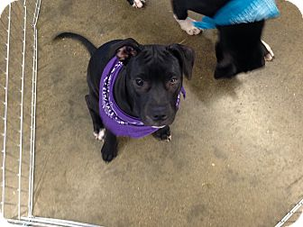 American Pit Bull Terrier Mix Puppy for adoption in Spanish Fort, Alabama - Precious