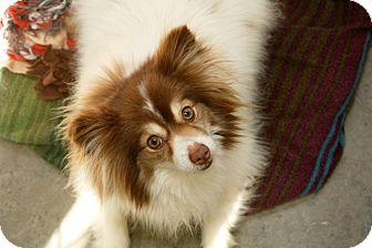 Pomeranian Mix Dog for adoption in Kalamazoo, Michigan - Gemma