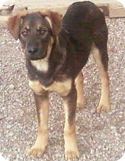 Shepherd (Unknown Type)/Shar Pei Mix Puppy for adoption in Toledo, Ohio - Mikka