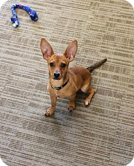 Dachshund/Chihuahua Mix Puppy for adoption in Bellingham, Washington - Wallaby