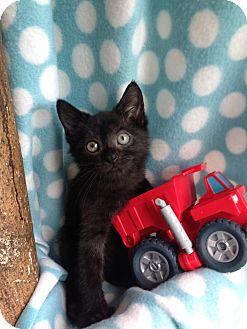 Domestic Shorthair Kitten for adoption in Union, Kentucky - Licorice