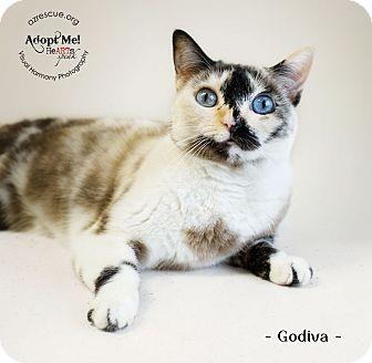 Siamese Cat for adoption in Phoenix, Arizona - Godiva