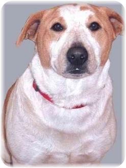 Bull Terrier/Australian Cattle Dog Mix Dog for adoption in Grass Valley, California - Yuba
