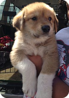 Great Pyrenees/Anatolian Shepherd Mix Puppy for adoption in Tulsa, Oklahoma - Newton  *Adopted