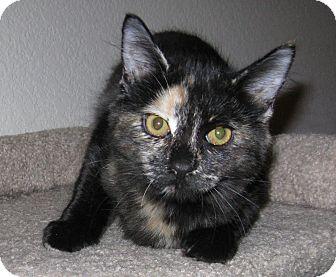 Domestic Mediumhair Kitten for adoption in Arlington/Ft Worth, Texas - Cordelia