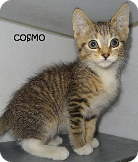 Domestic Shorthair Kitten for adoption in Lapeer, Michigan - COSMO--FLUFFY & SWEET KITTY