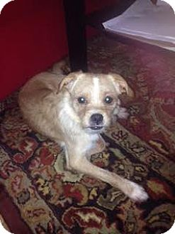 Terrier (Unknown Type, Small) Mix Dog for adoption in Vancouver, British Columbia - Teddy