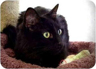 Domestic Longhair Cat for adoption in Irvine, California - Cinders