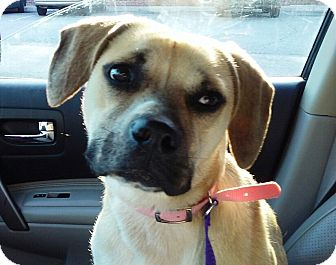 Boxer Mix Dog for adoption in Radford, Virginia - Daisy