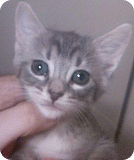 Domestic Shorthair Kitten for adoption in Lawrenceville, Georgia - Ramona