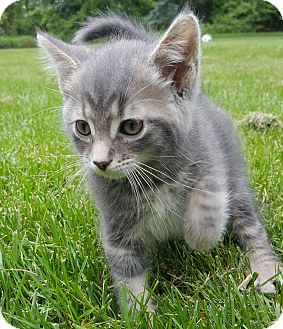 Domestic Shorthair Kitten for adoption in Oakland, Michigan - Grasshopper