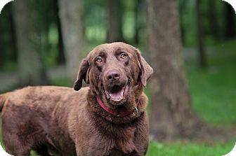 Labrador Retriever Mix Dog for adoption in Lewisville, Indiana - Fudge