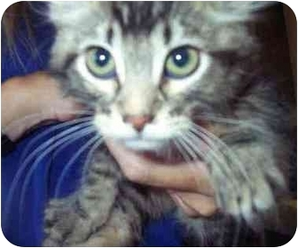 Domestic Mediumhair Kitten for adoption in San Clemente, California - JERRI = Fun Kitten