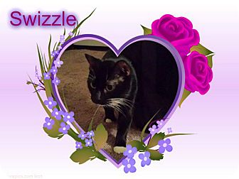Domestic Shorthair Cat for adoption in Putnam, Connecticut - Swizzle