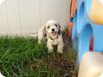 Shih Tzu Mix Dog for adoption in West Deptford, New Jersey - Betty
