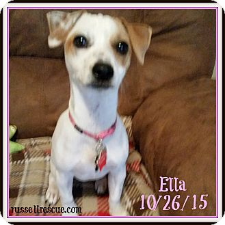 Jack Russell Terrier Puppy for adoption in San Antonio, Texas - Ella In Victoria, Texas