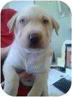 Australian Shepherd/Labrador Retriever Mix Puppy for adoption in Manhattan, New York - Kumo