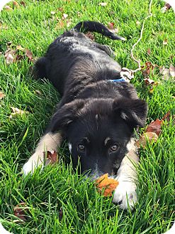 Border Collie Mix Puppy for adoption in New Oxford, Pennsylvania - Jack Frost