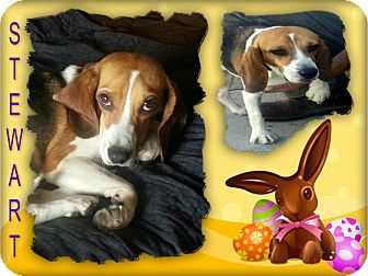 Beagle Dog for adoption in Findlay, Ohio - STEWART
