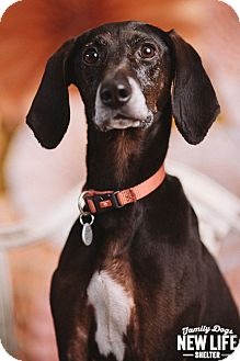 Plott Hound/Whippet Mix Dog for adoption in Portland, Oregon - Pepperjack