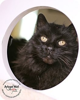 Domestic Longhair Cat for adoption in Lyons, New York - Phoebe
