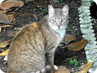 Domestic Mediumhair Cat for adoption in Naples, Florida - Sabrina