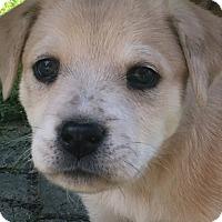 Adopt A Pet :: Shelby - Bedminster, NJ