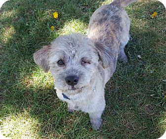 Poodle (Miniature)/Terrier (Unknown Type, Small) Mix Dog for adoption in Bend, Oregon - Gino