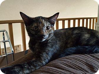 Maine Coon Kitten for adoption in Lodi, California - Sienna
