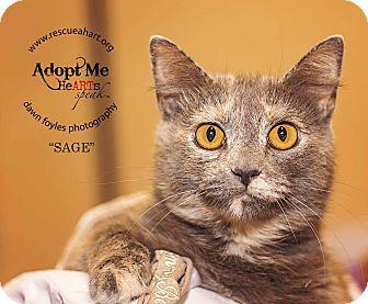 Domestic Shorthair Cat for adoption in Cincinnati, Ohio - Sage