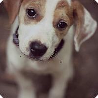 Adopt A Pet :: Katie - Fredericksburg, VA