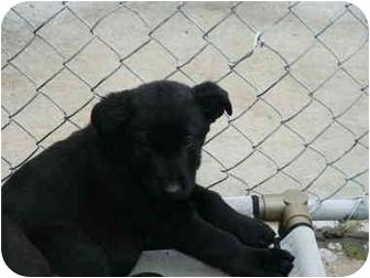 Labrador Retriever/Shepherd (Unknown Type) Mix Puppy for adoption in Mason City, Iowa - Rastas