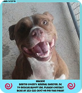 American Pit Bull Terrier Mix Dog for adoption in Powellsville, North Carolina - MACKIE