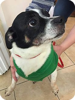 Chihuahua Mix Dog for adoption in Middletown, New York - Chunk