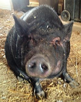 Pig (Potbellied) for adoption in Bruce Township, Michigan - Daisy