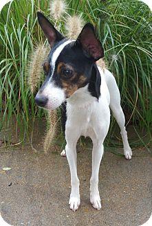 Rat Terrier/Toy Fox Terrier Mix Dog for adoption in Bridgeton, Missouri - Daisy