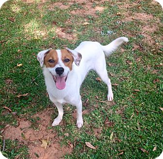 Jack Russell Terrier Mix Dog for adoption in Manhasset, New York - Ginger