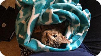 Domestic Shorthair Cat for adoption in Parkton, North Carolina - Caroline