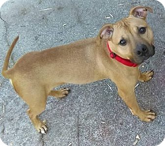 Pit Bull Terrier Dog for adoption in Fort Wayne, Indiana - Penelope