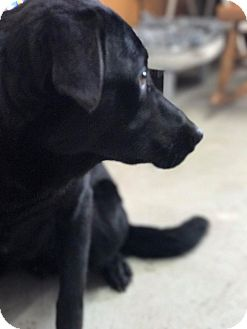 Flat-Coated Retriever/Labrador Retriever Mix Dog for adoption in Lewisburg, Tennessee - Coolio