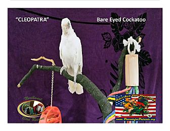 Cockatoo for adoption in Vancouver, Washington - Cleopatra Bared Eye Cockatoo