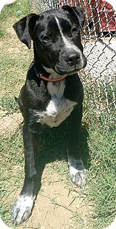 Pit Bull Terrier Mix Puppy for adoption in Watauga, Texas - Cindy