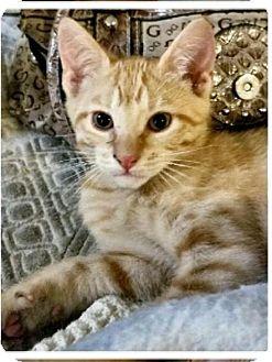 Domestic Shorthair Kitten for adoption in Glendale, Arizona - Andy
