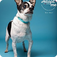 Adopt A Pet :: Hot Sot - New Milford, CT