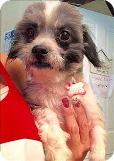 Shih Tzu/Havanese Mix Dog for adoption in Encino, California - Dusty