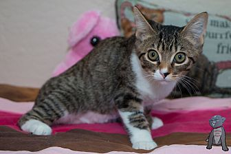 Domestic Shorthair Kitten for adoption in Fountain Hills, Arizona - Tashi