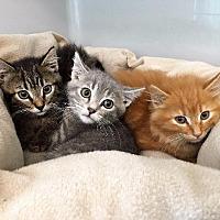 Adopt A Pet :: Gadget - St. Charles, MO