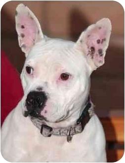 French Bulldog/American Pit Bull Terrier Mix Dog for adoption in El Segundo, California - Gargoyle