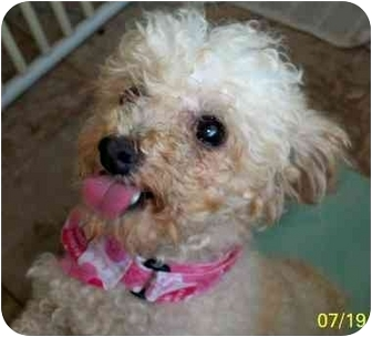 Poodle (Toy or Tea Cup) Dog for adoption in Kokomo, Indiana - Pinkie